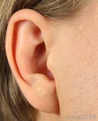 Behind The Ear Anatomy In Anatomy What Is An Ampulla With Pictures