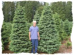 noble fir christmas tree noble fir fresh christmas trees