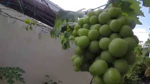 organic grapes in grow bag terrace gardening roof top garden