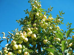 yellow delicious apple tree on sale the planting tree