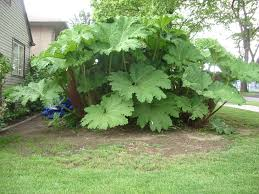 plants that keep mosquitoes away deter mosquito pests u2013 how to control mosquitoes with plants