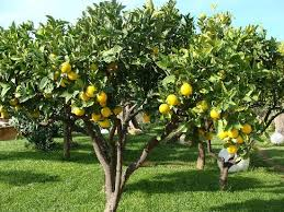 orange trees picture of hotel villa athena agrigento tripadvisor