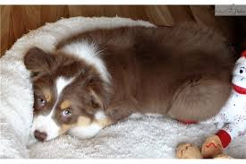 australian shepherd puppies for sale los angeles sale pending australian shepherd puppy for sale near rapid city