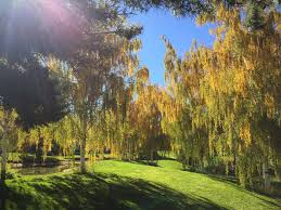 common species of willow trees and shrubs
