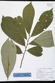 native plants of florida asimina triloba species page isb atlas of florida plants