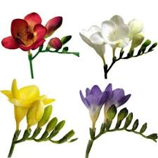 freesia flower farm mix assorted colors freesia flowers freesia flowers cut