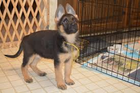 australian shepherd 9 weeks old weight german shepherds vbds sold world class puppies