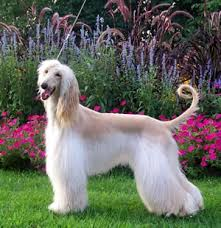 afghan hound arizona afgan hound 1 i would love to have one or 2 or 3 pets