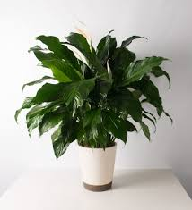 Peace Lily Peace Lily Bartz Viviano Flowers U0026 Gifts