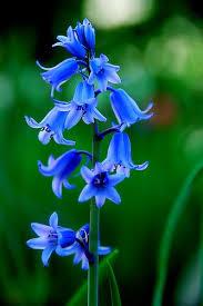 blue flowers 425 best flowers blue images on blue flowers blue