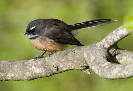 native plants new zealand new zealand fantail new zealand birds online