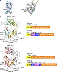 structural insight into mr1 mediated recognition of the mucosal