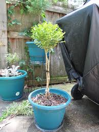 Lollipop Topiary Tree - container topiary 4 steps