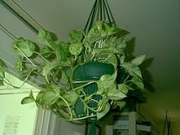 Indoor Vine Plant Simple And Basic Houseplants Dave U0027s Garden