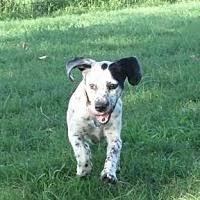 belgian sheepdog oklahoma norman ok pet adoption oklahoma beagle rescue has dogs