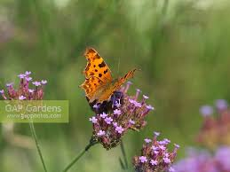 gap gardens comma butterfly polygonia c album perches on