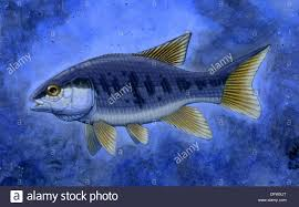 semionotus flag back an extinct genus of ray finned fish stock