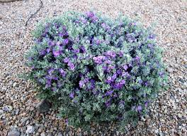 plants native to north texas leucophyllum frutescens wikipedia