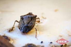 Can Bed Bugs Live In Water Where Do Stink Bugs Live Orkin