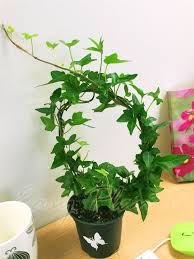 english ivy hedera evergreen hardy wall climbing hanging baskets