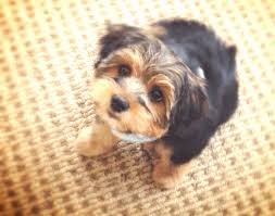 first haircut hank the morkie puppy pinterest haircuts