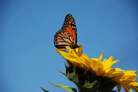 butterfly sunflower 3 kapcha the