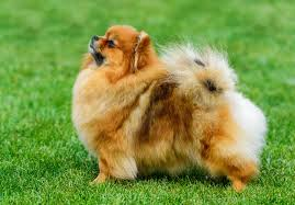 pomeranian x australian shepherd for sale pomeranian dogs and puppies for sale in the uk pets4homes