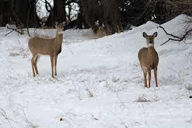 the winter deer ecologist u0027s notebook