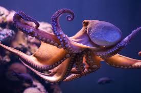 octopus concussions cerebrovortex