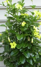 Yellow Climbing Flowers - top ten container plants for record breaking summer