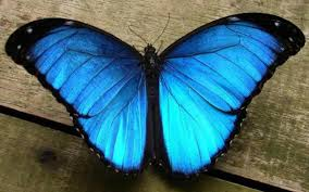 blue butterfly costa rica forest weddings events about us