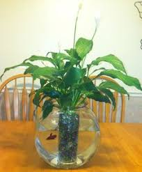 Beta Fish In Vase A Human Being Can Achieve Anything Except Mental Peace Viewing Of