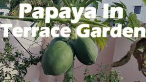 papaya plant with seed gardening sekho part 2 not seeds link