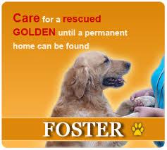 Comfort Retrievers For Adoption Golden Retriever Rescue Of Houston Adopt Foster Rescue A