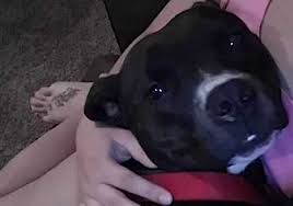 police chief resigns after fatally shooting u0027loose u0027 pitbull mix at