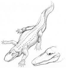 albino alligator live sketch pencil on paper original u2026 flickr