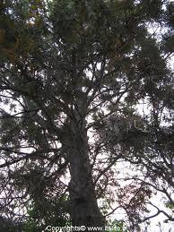 silver oak tree gardening tropical trees grevillea robusta