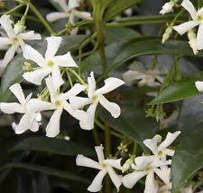 Very Fragrant Plants - tropical vines u0026 climbing plants ebay