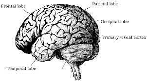 gallery brain diagram labeled black and white human anatomy