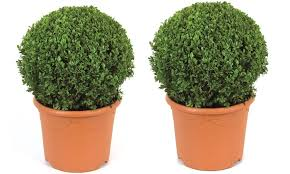 buxus sempervirens in vaso fino a 56 su set con 6 buxus groupon