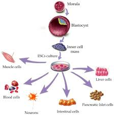 stem cell therapy for neuromuscular diseases intechopen