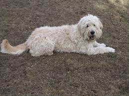 american eskimo dog poodle mix goldendoodle a golden retriever poodle mix spockthedog com