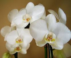 white orchids white orchid free pictures on pixabay