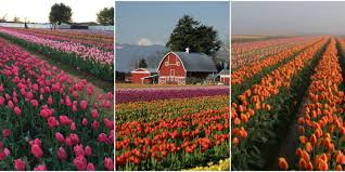 7 tulip farms to visit in america u2014 how to visit tulip farms