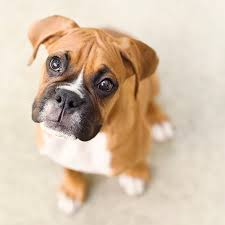 boxer dog in heaven boxer puppies dogtime