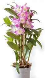 Dendrobium Orchid Dendrobium Orchid Plant At Best Price In India