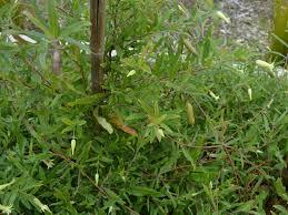 native plant fertiliser billardiera scandens u2013 apple berry gardening with angus