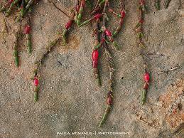 native plants adelaide adelaide rare succulents google search 澳洲多肉植物 野生原生种