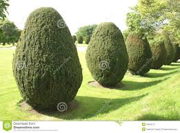 Yew Topiary - yew topiary topiary trees garden stock photo image 49500157