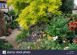 Small Cottage by Robinia Pseudocacia U0027frisia U0027 Small Cottage Garden Golden Yellow
